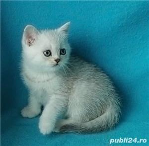 Feline british si scottish poze reale - imagine 10
