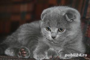 Feline british si scottish poze reale - imagine 2