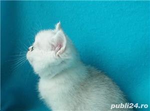 Feline british si scottish poze reale - imagine 7