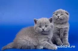 Feline british si scottish poze reale - imagine 3