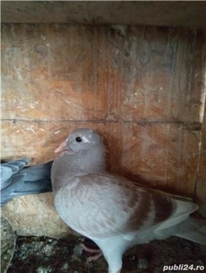 Porumbei maturi și pui2019 - imagine 7
