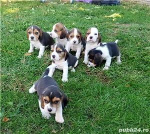 Pui beagle - imagine 2