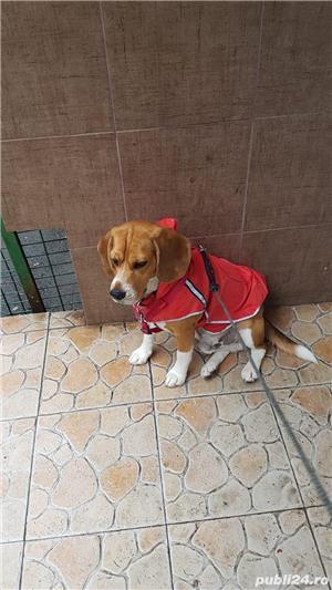 Beagle - imagine 1