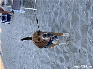 Beagle - imagine 5