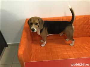 Beagle - imagine 3