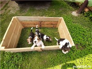 Pui beagle  - imagine 5