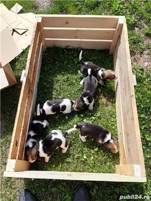 Pui beagle  - imagine 9