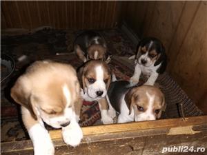 beagle catei - imagine 5