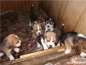 beagle catei - imagine 3