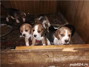 beagle catei - imagine 1