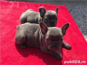 Pui din rasa bulldog buldog francez blue gri albastru fara dungi!! - imagine 3