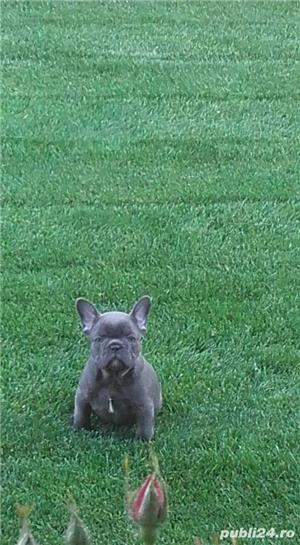 Pui femele si masculi  de bulldog-buldog francez blue,gri,albastru - imagine 2