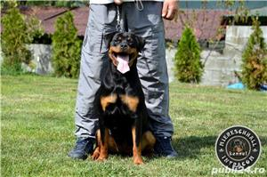Femela Rottweiler 11 luni - imagine 6