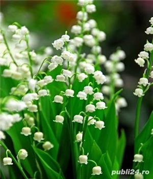 Flori / arbusti gradina crini irisi toporasi margaritar coacaz zmeur - imagine 4