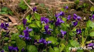 Flori / arbusti gradina crini irisi toporasi margaritar coacaz zmeur - imagine 2