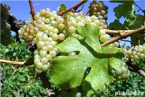 Vand Vin Nobil si Rachiu/Tuica din tescovina si STRUGURI-Feteasca Alba,Riesling, sat Sahateni, Buzau - imagine 3