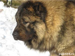 Ciobanesc Caucazian Mascul  - imagine 5