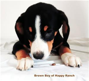Entlebucher Sennenhund din canisa FCI Happy Ranch - imagine 2
