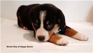 Entlebucher Sennenhund din canisa FCI Happy Ranch - imagine 1