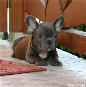 catelusa bulldog francez blue - imagine 2