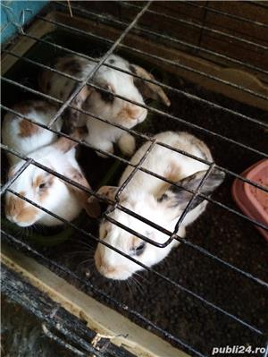 pui iepuri pitici: angora .cap de leu .pitic cu blana scurta si berbec pitic - imagine 3