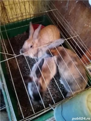 pui iepuri pitici: angora .cap de leu .pitic cu blana scurta si berbec pitic - imagine 2