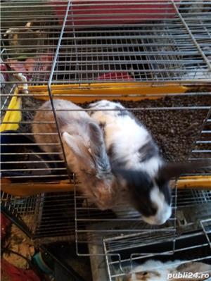 pui iepuri pitici: angora .cap de leu .pitic cu blana scurta si berbec pitic - imagine 5