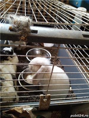 pui iepuri pitici: angora .cap de leu .pitic cu blana scurta si berbec pitic - imagine 6