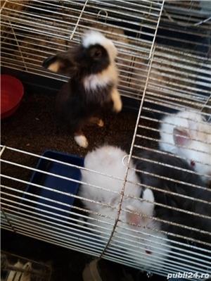 pui iepuri pitici: angora .cap de leu .pitic cu blana scurta si berbec pitic - imagine 4