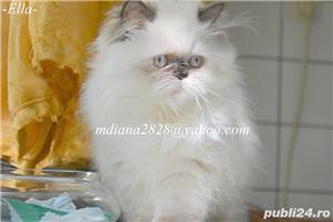 Pui persan Himalayan, Poze Reale !!! - imagine 7