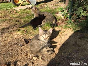 Ofer gratuit 3 pisicuțe jucăușe - imagine 1