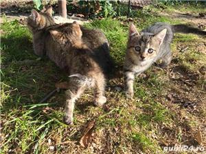 Ofer gratuit 3 pisicuțe jucăușe - imagine 5