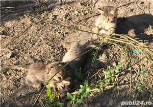 Ofer gratuit 3 pisicuțe jucăușe - imagine 7
