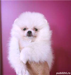 Pomeranian adult - imagine 4