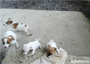 Puiuti de jack russell terrier jack russel terier - imagine 5