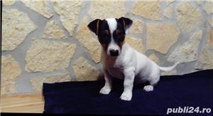 Puiuti de jack russell terrier jack russel terier - imagine 2