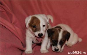 Puiuti de jack russell terrier jack russel terier - imagine 4