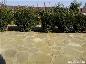 Vand puieti buxus elvetian - imagine 1