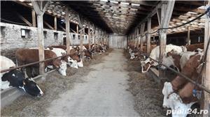 Ferma bovine - imagine 2