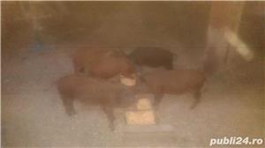 Porci - imagine 4