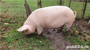 Porc 280Kg - imagine 2