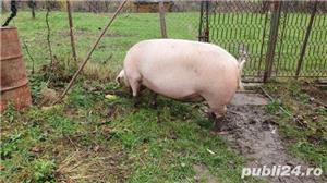 Porc 280Kg - imagine 3