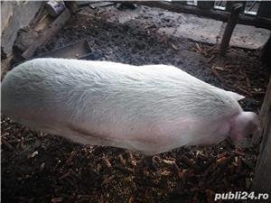 Vand porc de Craciun, peste 270kg - imagine 3