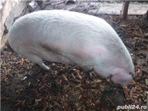 Vand porc de Craciun, peste 270kg - imagine 4