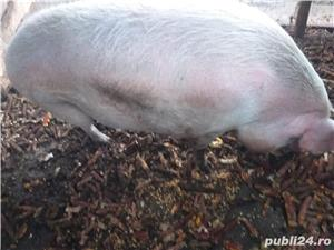 Vand porc de Craciun, peste 270kg - imagine 1