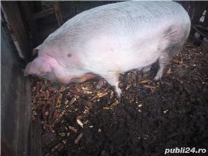 Vand porc de Craciun, peste 270kg - imagine 5
