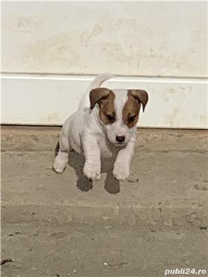 Jack Russell Terrier  - imagine 1
