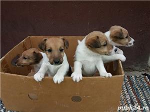 Vand foxterrier/fox terrier!! - imagine 1