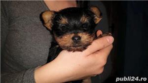 Yorkshire/yorki/yorkie terrier femele&masculi!! - imagine 1