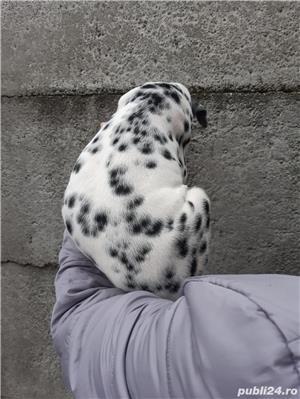 Vand pui dalmatian - imagine 3